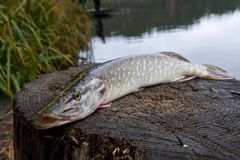 Freshwater pike fish lies on a wooden hemp royalty free stock image