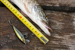 Freshwater pike fish and tape-measure on wooden background. stock photos