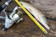 Freshwater pike fish and tape-measure on wooden background. Freshwater Northern pike fish know as Esox Lucius and tape-measure lying on vintage wooden Stock Photo
