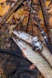 Freshwater pike fish. Two freshwater pikes fish, fishing rod wit stock image