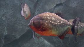 Predatory freshwater piranha fish that live in rivers and fresh water bodies in the tropical part of South America