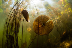 Freshwater Pond Life Royalty Free Stock Photography