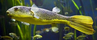 Freshwater puffer 4. Freshwater puffer. Latin name - Tetraodon mbu Stock Image