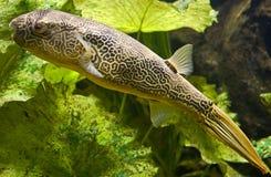 Freshwater puffer 5. Freshwater puffer. Latin name - Tetraodon mbu Stock Image