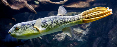 Freshwater puffer 6 Stock Photography