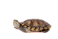 Freshwater red-eared turtle on white Stock Images