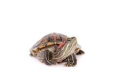 Freshwater red-eared turtle on white Stock Photography