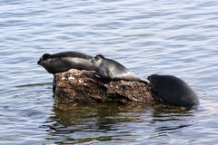 Freshwater seal Royalty Free Stock Photo