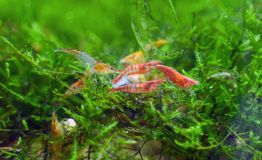 Free Freshwater Shrimps Royalty Free Stock Photos - 158247378