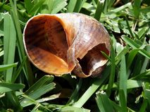 Freshwater snail shell Royalty Free Stock Photography