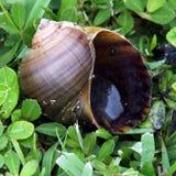 Freshwater snail shell Stock Image