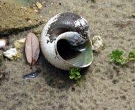 Freshwater snail shell Stock Images