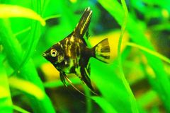Freshwater spotted, dark angelfish. In an aquarium Stock Images