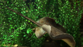 Freshwater stingray stock footage