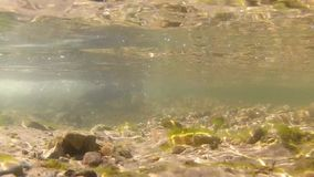 Freshwater stream and two brown trouts stock video footage