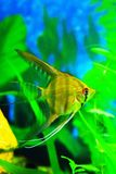 Freshwater stripped, light angelfish. In an aquarium Royalty Free Stock Photos