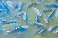 Freshwater tilapia is rising above the water to wait for food. Freshwater tilapia fish, popular for trade in agribusiness It was rising above the surface to stock photos