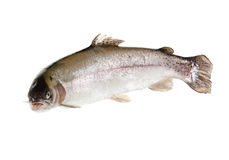 Free Freshwater Trout Isolate On A White Background Closeup Royalty Free Stock Photos - 78669798