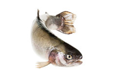 Free Freshwater Trout Isolate On A White Background Closeup Royalty Free Stock Photo - 78669815