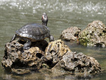 Freshwater Turtle Stock Photography