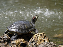 Freshwater Turtle Royalty Free Stock Photography