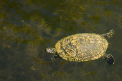 Freshwater Turtle Stock Photo