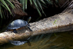 Freshwater Turtle. Sunning on a fallen palm tree in the everglades Royalty Free Stock Photography