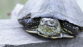 Freshwater turtle on board. Close-up of river turtles on wooden board stock footage