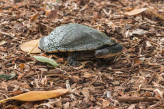 Freshwater turtle Royalty Free Stock Images