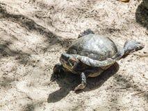 Freshwater turtle crawled up on sand Stock Images