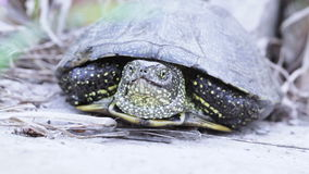 Freshwater turtle on earth. Snaking river turtle midst dry ground stock video footage