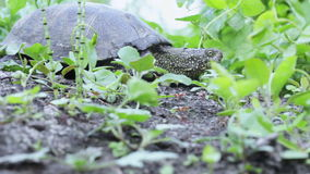 Freshwater turtle in grass. Turtle creeping river among green grass stock footage