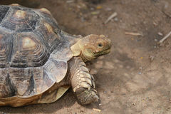 Freshwater turtle. Royalty Free Stock Images