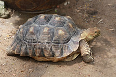 Freshwater turtle. Stock Images