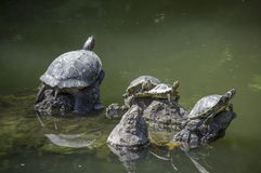 Freshwater turtles in a pond royalty free stock images