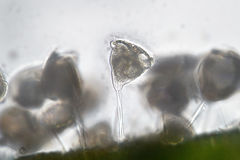 Freshwater Vorticella Campanula by microscope. Benthic water lif. Freshwater Vorticella Campanula. Benthos by microscope. Water Life Stock Photo