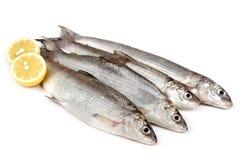 Freshwater Whitefish (Coregonus lavaretus) Royalty Free Stock Image