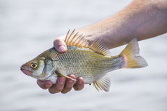 Freshwatre drum fish Royalty Free Stock Photography
