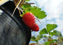Freshy red straeberry in pot Stock Image