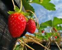 Fresh red strawberry in pot Stock Images