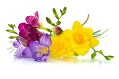 Fresia amarillo y violeta en blanco Foto de archivo