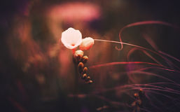Fresia blom Arkivbild