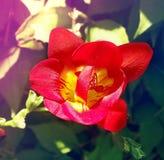 Fresia de la flor de la primavera Tined entonó imagen de la coloración fotos de archivo libres de regalías