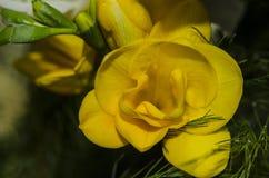 Fresia gialla Fotografia Stock Libera da Diritti