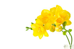 Fresia giallo Immagine Stock