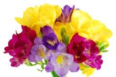 Fresia giallo e viola su bianco Fotografia Stock