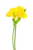 Fresia giallo su bianco Fotografie Stock Libere da Diritti