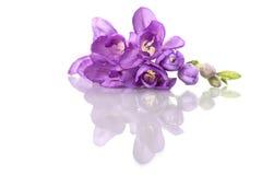 Fresia púrpura hermosa, aislada en blanco Imágenes de archivo libres de regalías