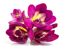 Fresia viola su bianco Fotografia Stock Libera da Diritti