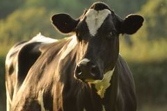 fresian的母牛 免版税图库摄影